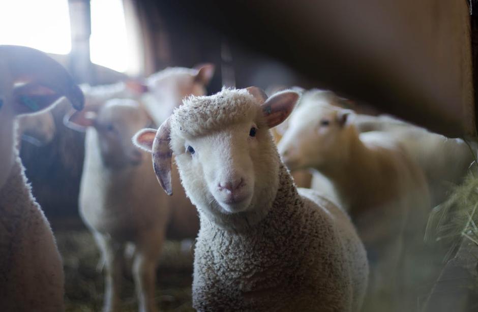 Profile of a lamb in The St Werburgh's Farm Bristol.